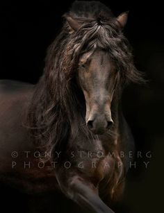 Magnificent.... a black Merens stallion from Southern France.  Tony Stromberg Photography