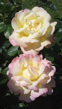 'Peace'   Hybrid Tea Rose. Francis Meilland (France, 1935)   Flickr - © KamalaKala