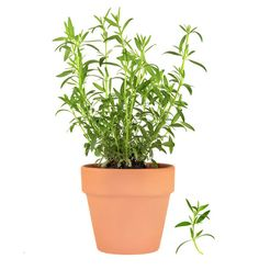 How To Grow Tarragon | Herb Gardening Guide - via http://herbgardening.com/growingtarragon.htm