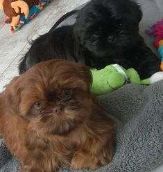 Quality ShihTzu for quality homes for Pets and Therapy dogs. We offer LIFETIME advice for your Glory Ridge ShihTzu. Imperial shihtzu to standard size shihtzu in every color. Shih Tzu Puppy, Therapy Dogs, Dog Days, Missouri, Dog Training, Puppies, Pets, Animals, Kai
