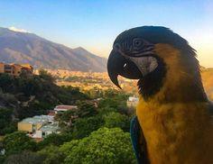 Feliz miércoles Fotografía cortesía de @juancacastle #LaCuadraU #GaleriaLCU #Caracas #Guacamaya #Ave #CaracasNatural #CaracasBella