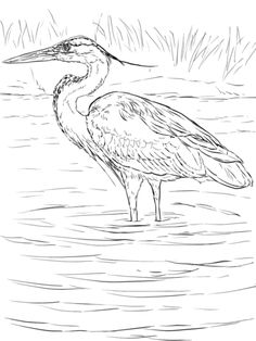 Great Blue Heron Stands In Wetland Coloring Page From Category Select 30325 Printable Crafts Of Cartoons Nature Animals Bible And Many More