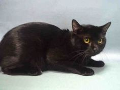*** 12/08/15 TO BE DESTROYED*** A RARE THIRD CHANCE FOR AIR!!  A FRIGHTENED BUT HEALTHY HOUSE PANTHER NAMED AIR FOUND HIS WAY INTO THE SHELTER AS A STRAY AND NEEDS YOU TO HELP HIM FIND HIS WAY OUT!! AIR is a one year old kitten who sadly was most likely trapped and dumped at the shelter by someone who probably thought they were doing him a favor. This was no favor to AIR because this boy is afraid and tense and was avoiding any attempts to touch him. He eventually allowed some petting but…