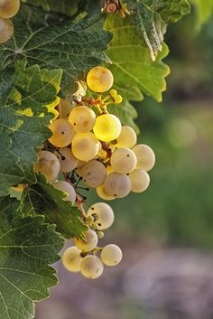 white wine grapes in the summer.