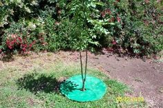 A Simple Tree Ring With Circle Pavers Stony Creek