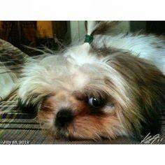 彼女もね Luna also feel sleepy Zzz... #shihtzu #dog #philippines #フィリピン #シーズー #犬