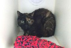 +++ SUPER #URGENT +++ #wlf #SHARE ~ TO BE DESTROYED 4/17/2015 #NYC #StatenIsland Center ~ PLS #ADOPT #FOSTER immediately! ~ My name is ASHLEY. My Animal ID # is A1032451. – P I am a female black and tortie domestic sh mix. The shelter thinks I am about 10 YEARS old. I came in the shelter as a OWNER SUR on 04/07/2015 from NY 10306, owner surrender reason stated was MOVE2PRIVA. I came in with Group/Litter #K15-009249