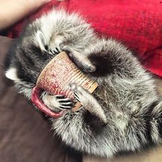 So typical of House Racoons Cute Raccoon, Racoon, Animals And Pets, Baby Animals, Baby Otters, Secret Life Of Pets, Woodland Creatures, Cool Pets, Cute Funny Animals
