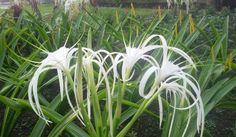 White Spider Lily flower #Amaryllidacea #Hymenocallis