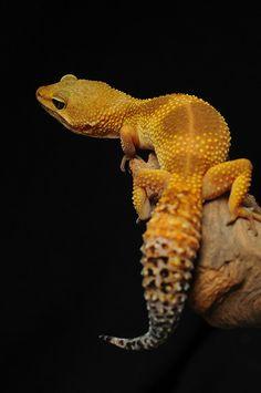 Leopard Gecko by Skink Chen
