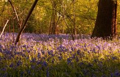 North Holmwood, (Surrey) UK  Holmwood Common is ancient woodland and right at the end of our street and we know spring has truly arrived when the bluebells come out. Walking in a 'bluebell wood' is an experience which only England can offer and we hope that anyone who exchanges with us will have this wonderful experience.