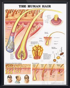 The Human Hair anatomy poster shows detailed anatomical view of scalp and hair within the skin extending to the hair shaft. Dermatology for doctors, nurses and cosmetologists. <3
