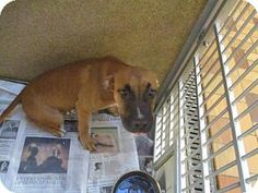 Homer Glen, IL - Boxer. Meet Jerry, a dog for adoption. http://www.adoptapet.com/pet/16792235-homer-glen-illinois-boxer