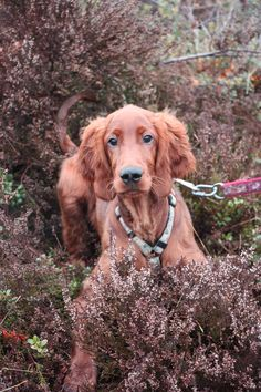 Beautiful eyes. Irish Setter