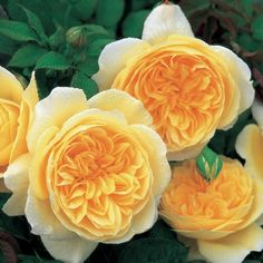 English Roses Teasing Georgia - David Austin Rose - Rosa - The Garden Centre Group Roses David Austin, David Austin Rosen, Love Rose, Pretty Flowers, Rose Anglaise, Rooting Roses, Rose Foto, Shrub Roses, Gardening