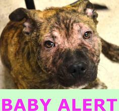07/10/15-RETURNED 06/05/15 NO TIME --- SAFE RTO 2/16/15  --- Manhattan Center  SCRAPPY - A1027905   MALE, BR BRINDLE, AMERICAN STAFF MIX, 5 mos OWNER SUR - EVALUATE, NO HOLD Reason PET HEALTH  Intake condition EXAM REQ Intake Date 02/13/2015 https://www.facebook.com/Urgentdeathrowdogs/photos/pb.152876678058553.-2207520000.1423876386./961150693897810/?type=3&theater http://nycdogs.urgentpodr.org/scrappy-a1027905/