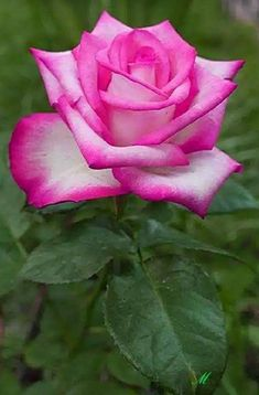 If you are thinking of rose gardening don't let this rumor stop you. While rose gardening can prove to be challenging, once you get the hang of it, it really isn't that bad. Beautiful Rose Flowers, Wonderful Flowers, Pretty Roses, Love Rose, My Flower, Silk Flowers, Beautiful Flowers, Lavender Roses, Pink Roses