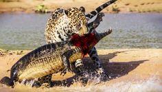 Báo ăn tấn công và ăn thịt cá sấu (HOT)
