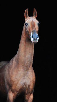 Akhal Teke - Shiny happy horses...