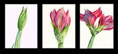 """""""Life of a Flower triptych Floral Watercolor, Watercolor Paintings, Triptych, Flowers, Plants, Life, Tri Fold Brochure, Water Colors, Florals"""