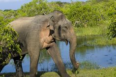 https://flic.kr/p/e18nMJ | SRI LANKA | A Bull elephant in Yala national park, Sri Lanka. The elephant is in a musth (must) condition-Their temporal glands become swollen, from where a strong smelling fluid, rich of testosterone, runs down on their cheeks. During musth the males are very aggressive, and sexual active. Press 'L' for a nicer view. www.boazimages.com Follow me on facebook