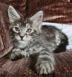 Cameo One Maine Coons - Available Maine Coon Kittens For Sale - Maine Coon Babies For Sale - Maine Coon Kitten Photos (this looks exactly like Big Grace as a kitten)