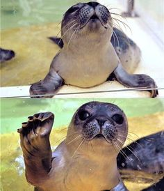 baby seal.