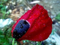 Poppy red and wet!