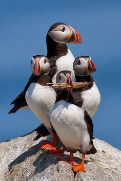 A very well-posed family of Atlantic Puffins Such lovely markings