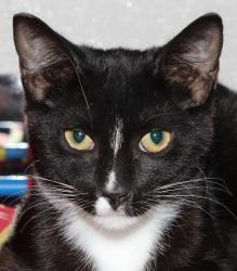 Pansy: Tuxedo, Cat; Venice, FL