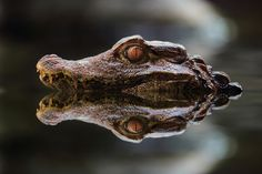 Alligator by Jeremy Jonkman Animals Of The World, Animals And Pets, Baby Animals, Cute Animals, Cute Reptiles, Reptiles And Amphibians, Mammals, Reptile Room, Cat Boarding