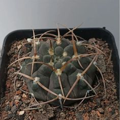 Gymnocalycium spegazzinii Grab your Rare succulents online. Worldwide Shipping. Use Discount code: E10PER We bring joy to your home gardening experience. esucculent.com Succulents Online, Succulents For Sale, Rare Succulents, Planting Succulents, Planting Flowers, Outdoor Plants, Air Plants, Cactus Plants, Outdoor Gardens