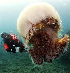 La medusa crin de león, Cyanea capillata (arctica) del Atlántico Norte. Puede medir 2,3 metros de diámetro y sus tentáculos alcanzan los 36 metros de longitud.