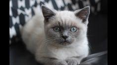 Blue colourpoint British shorthair kitten