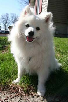 italian volpinos - this one looks just like my dog Julius! Spitz Dog Breeds, Spitz Dogs, American Eskimo Puppy, Japanese Spitz Dog, Greenland Dog, Reactive Dog, Positive Dog Training, Aggressive Dog, Cute Dogs And Puppies