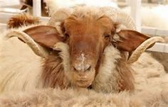 Awassi sheep. What beautiful ears and horns.