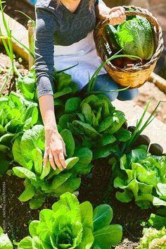 In the vegetable garden gathering lettuce & herbs - Gemuse Garten Veg Garden, Edible Garden, Vegetable Gardening, Organic Vegetables, Growing Vegetables, Culture D'herbes, Potager Bio, Pot Jardin, Herb Garden