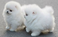 Two fluffy, white puppies standing together in the street.