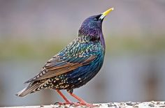 "The Common Starling (Sturnus vulgaris) or European Starling is a med-sized passerine bird in the starling family Sturnidae. It is about 8"" long w glossy black plumage, which is speckled w white at some times of yr. The legs are pink & the bill is black in winter & yellow in summers. It's a noisy bird, especially in communal roosts & other gregarious situations, w an unmusical but varied song. It has a gift for mimicry."