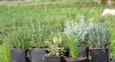 Vamos a ver a continuación los diez errores más comunes a la hora de cultivar hierbas aromáticas.