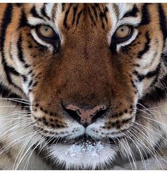 Animals There are only 500 Siberian tigers left in the wild. All Animals Photos, Black Jaguar, Siberian Tiger, Tree Frogs, African Elephant, Cute Baby Animals, Wild Animals, Amazing Nature, Wildlife Photography