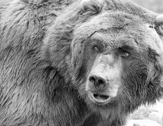bear-black-and-white-steve-mckinzie.jpg (600×463)