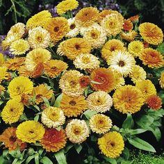 Fleur de tournesol orange Sun double 400 FINEST SEEDS Bulk