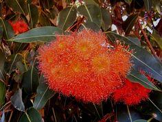 Western Australian Red Flowering Gum (Corymbia ficifolia)
