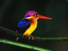 Oriental Dwarf Kingfisher (Ceyx erithacus)  The shy Oriental Dwarf is the smallest resident kingfisher at 13cms. A bird usually associated with shady woodland streams, most recent records come from the ghats and Konkan area in south-western India.   Kingfishers are a group of small to medium sized brightly colored birds with large and powerful bills which are well suited to catch fish.