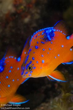 Pair of Juvenile Garibaldi cool fish right! Underwater Creatures, Underwater Life, Ocean Creatures, Beautiful Sea Creatures, Animals Beautiful, Colorful Fish, Tropical Fish, Fauna Marina, Life Under The Sea