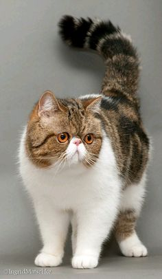Cats And Kittens Breeds Exotic Shorthair Short Hair Pretty Cats, Beautiful Cats, Animals Beautiful, Cute Animals, Cute Cats And Kittens, Cool Cats, Kittens Cutest, Ragdoll Kittens, Tabby Cats