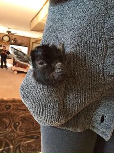 Tiny baby goat in a pocket