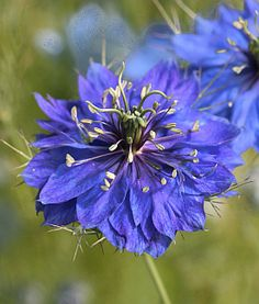 """Nigella damascena 'Miss Jekyll Dark Blue' This is the darkest of the well-known """"Lov-in-a-Mist"""" - a must grow if you've never tried it. Easy to grow, it prefers poor, well-drained soil and little water. A tremendous asset when mixed in an informal or cottage garden and is naturally charming in a bouquet. Reseeds!"""