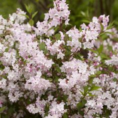 Deutzia purpurea Kalmiiflora (Bruidsbloem) - 1 heester kopen veilig online…